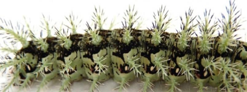 Acidentes com lagarta sobem e podem até matar; são pelo menos 7 registros por dia em Minas