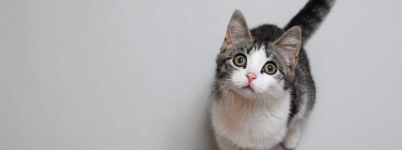 Novo coronavírus pode atingir felinos? Veterinário responde