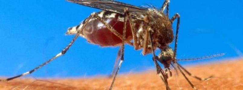 Aedes aegypti pode estar espalhando novo vírus