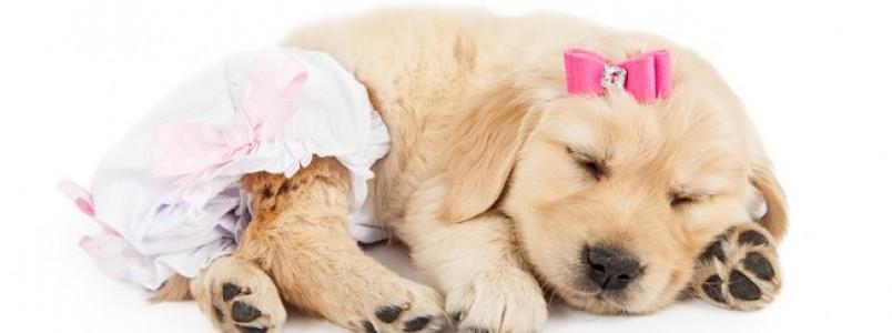 Fralda para cachorro: saiba como e o porquê de utilizar o produto