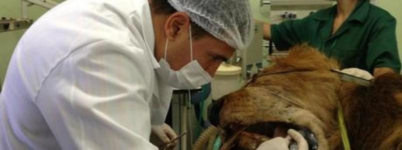Dentistas de animais tratam de leão a cachorros que usam aparelho nos dentes