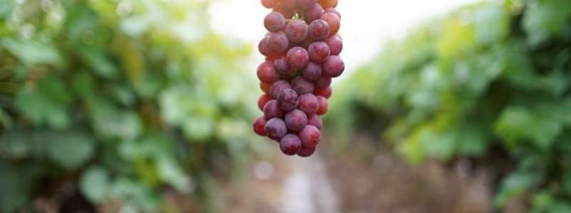 5 benefícios da uva para saúde que vão te surpreender