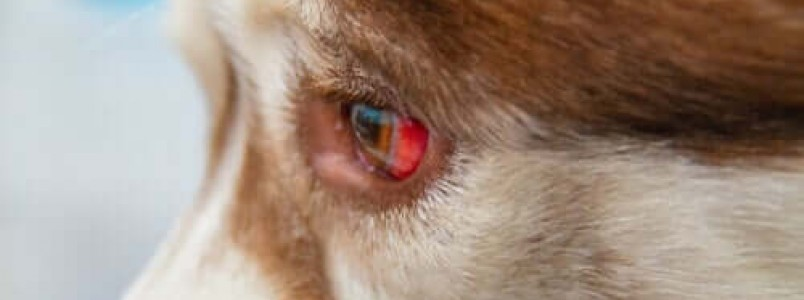 Derrame ocular em cães: como tratar