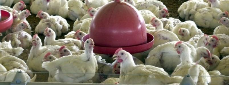 Agricultura proíbe uso de antimicrobianos em ração para animais