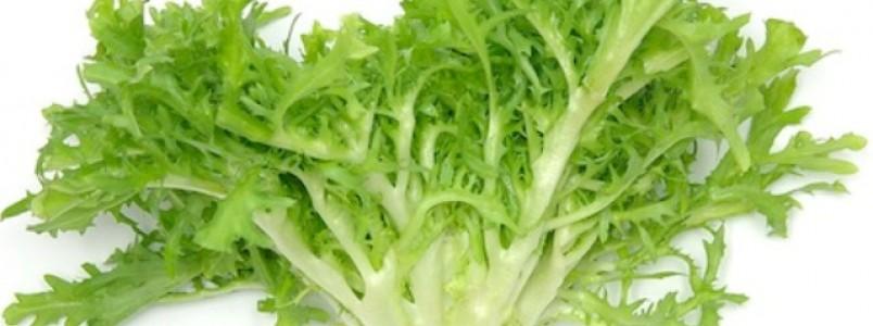 Benefícios da escarola incluem prevenção ao câncer de cólon