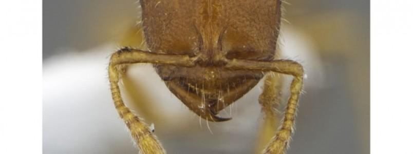 Pesquisadores brasileiros descobrem mais quatro espécies de formiga